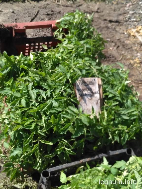Рассада помидоры, огурцы, перец 2016