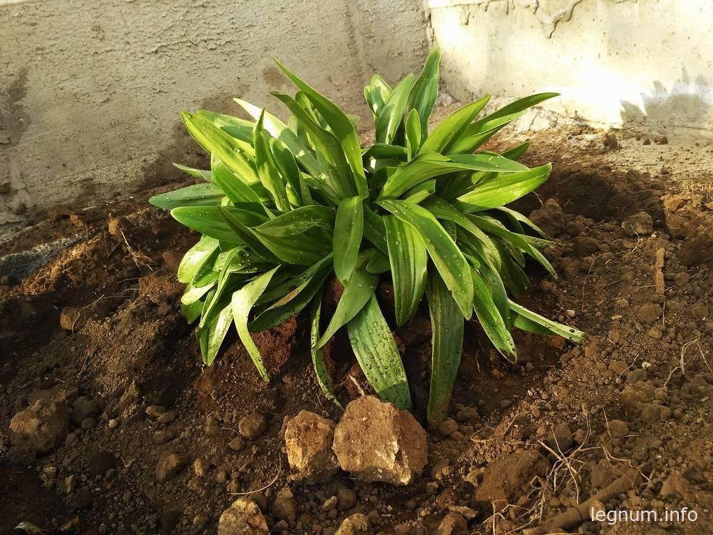 Пересадка садовой лилии
