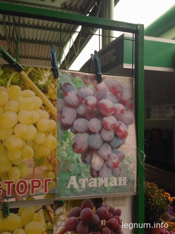 Садим виноград осенью