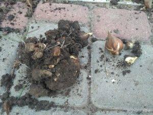 Луковицы пионов