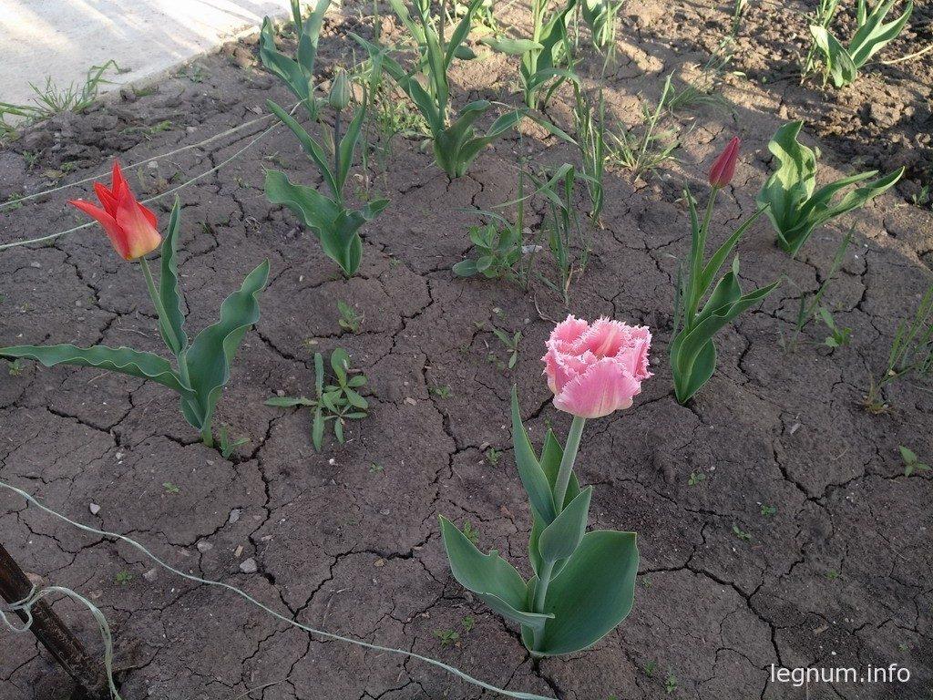 Посадка тюльпанов осенью 2017