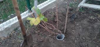 Пересадка двухгодичного винограда
