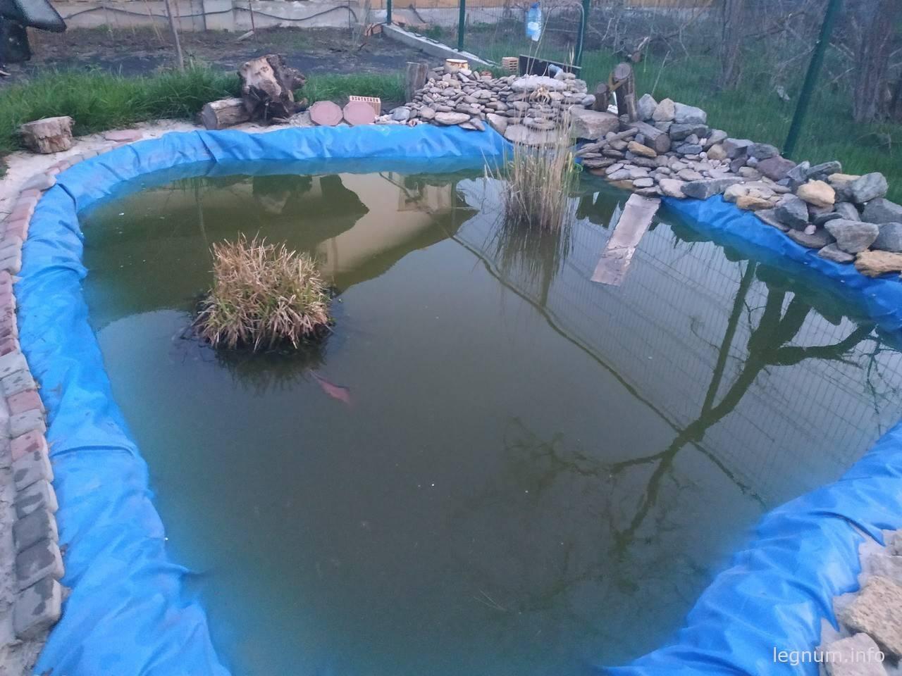 Высаживаем обычный камыш в пруд