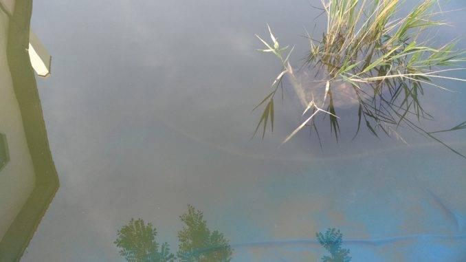 Камыш в воде