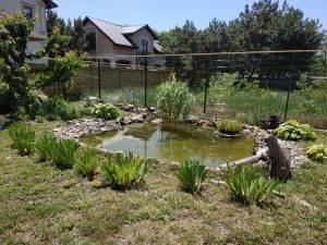 2-х летний камыш в пруду